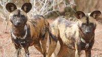 cane selvatico africano
