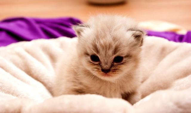 Foto Razze di gatti nani: perchè sono così piccoli?