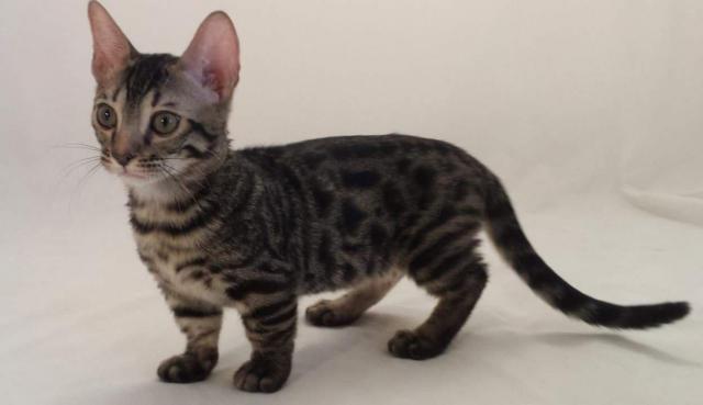 gatto genetta