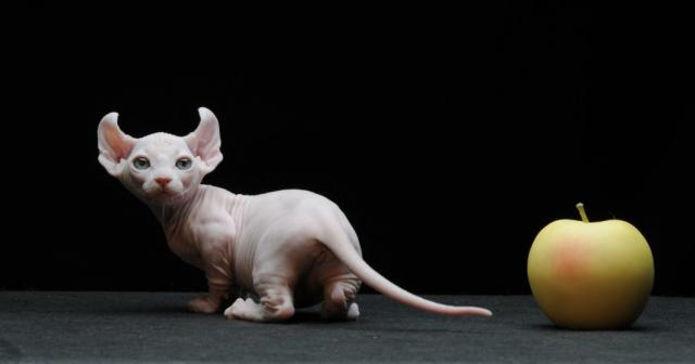 gatto dwelf