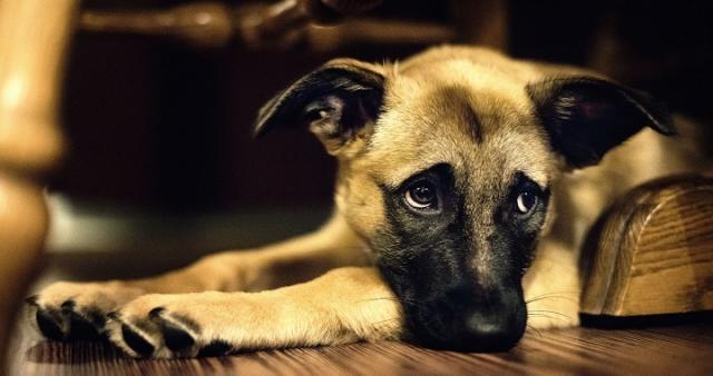 dolore cane