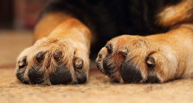 infezione piedi cane
