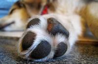 Foto Infezione zampa del Cane: sintomi e cure