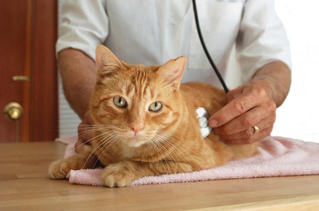 Foto 5 malattie del Gatto più pericolose