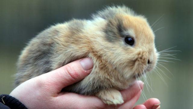 Foto Il coniglio perde il pelo: le cause