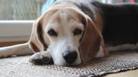 cane con dermatite