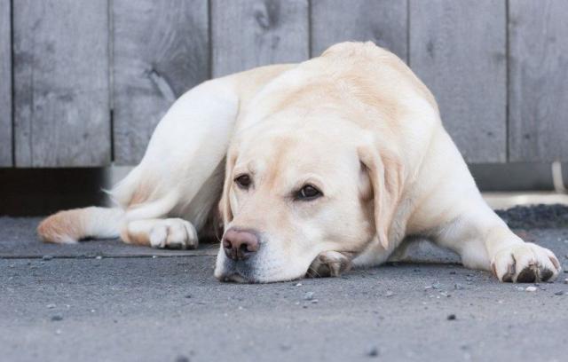 cane malato di tumore