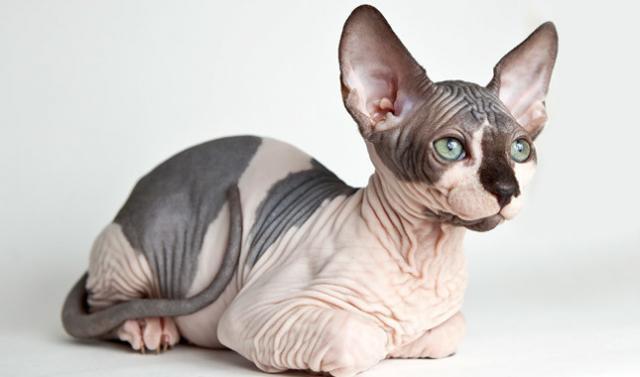 Foto Tutto sul gatto Sphynx