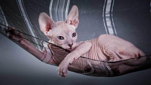 Tutto Sul Gatto Sphynx Mondopetsit