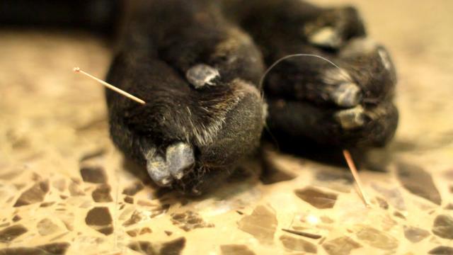agopuntura cane