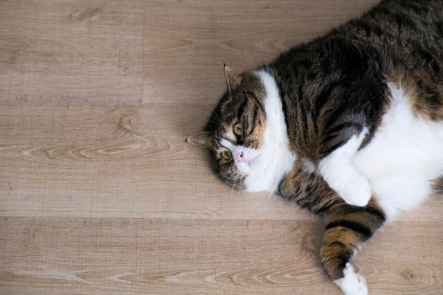 Foto Obesità del gatto: un problema in crescita