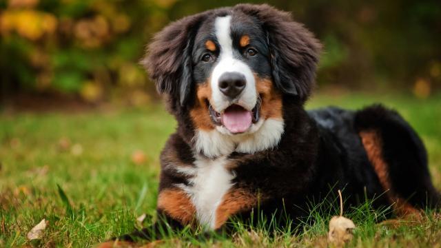 cane bernese