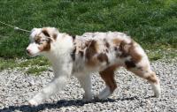 cane pastore australiano