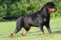 cane Rottweiler
