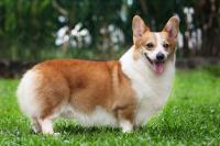 cane Corgi