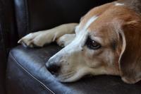 Foto Sintomi della torsione dello stomaco nei cani