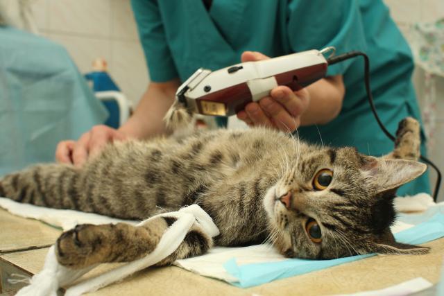 Foto Castrare un gatto maschio