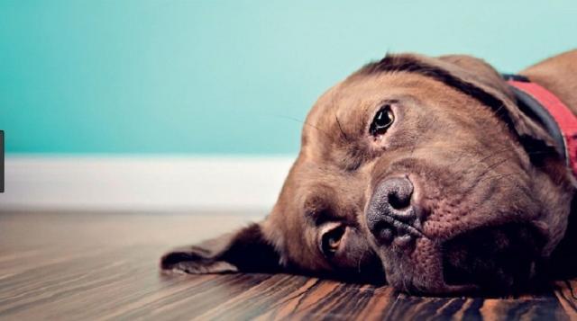 Foto Avvelenamento da glicole etilenico (antigelo) nei cani