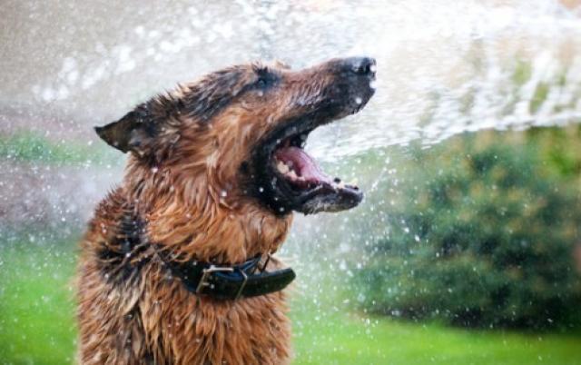 Foto Colpo di calore nel Cane: cosa fare