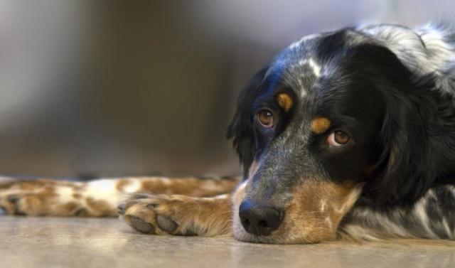 Foto Febbre canina: cause, sintomi e trattamento