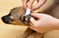 Foto Acari orecchio Cane: sintomi e trattamento
