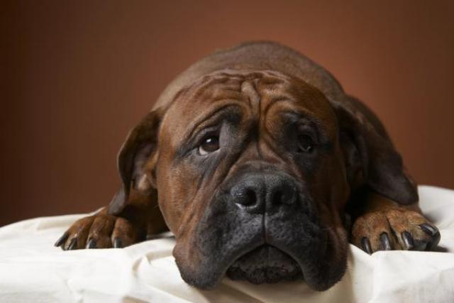 Foto Il cane ha la gastrite: cause e trattamento