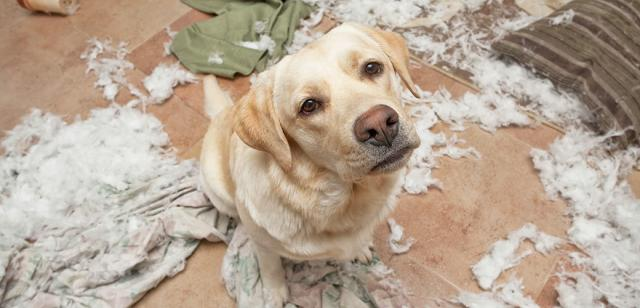 Foto Comportamento distruttivo nel Cane: alcuni consigli
