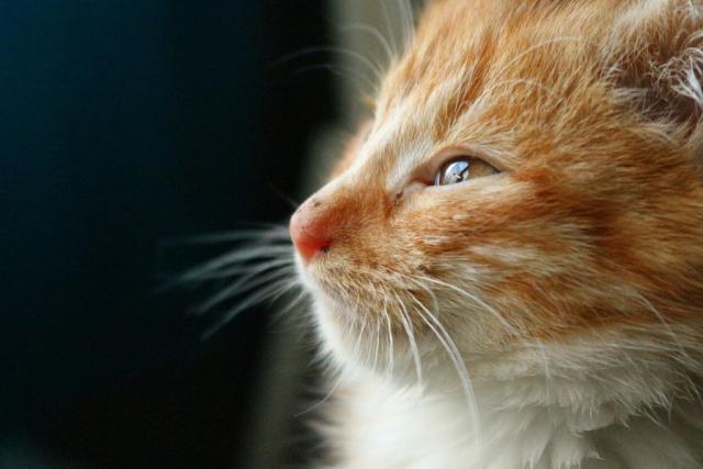 Foto Differenza tra FIV e FeLV felina