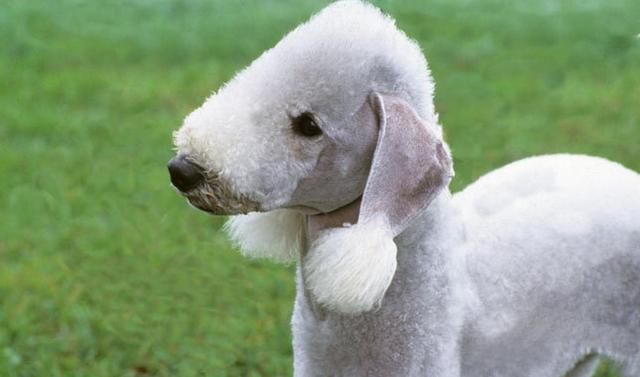 Bedlington Terrier bianco