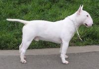 Bull Terrier bianco