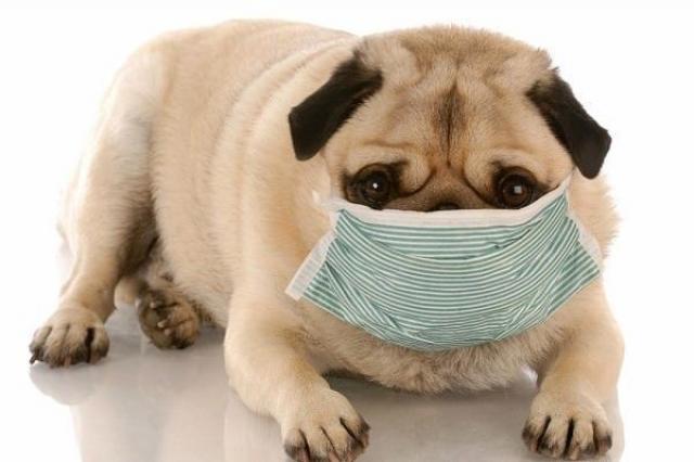Foto Perchè il Cane ha la tosse?
