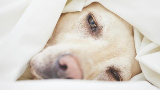 cane con la tosse