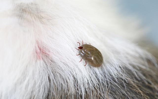 Foto Ehrlichiosi nei Cani: un'infezione causata dalle zecche