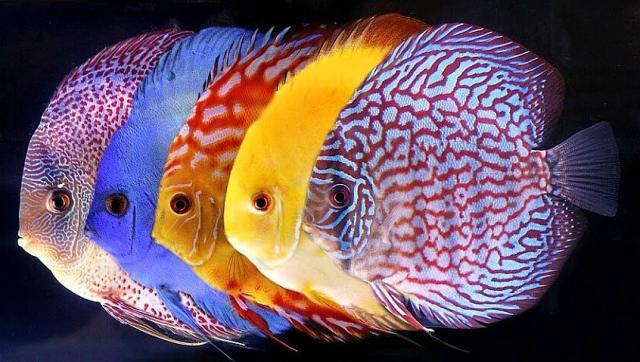 pesce discus