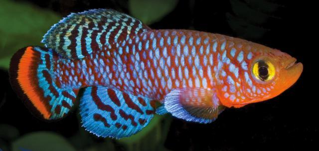 pesce Killifish