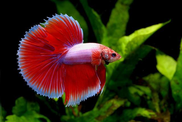 pesce Betta