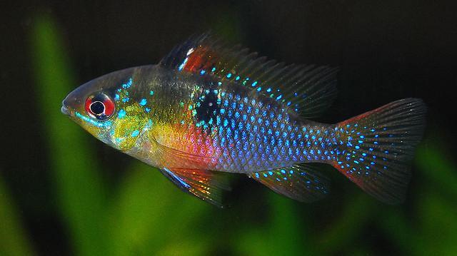 pesce Ram blu tedesca