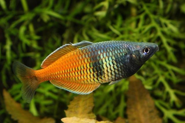 pesce Bosemani Ranbowfish