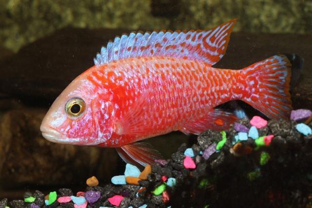 pesce Cichlid