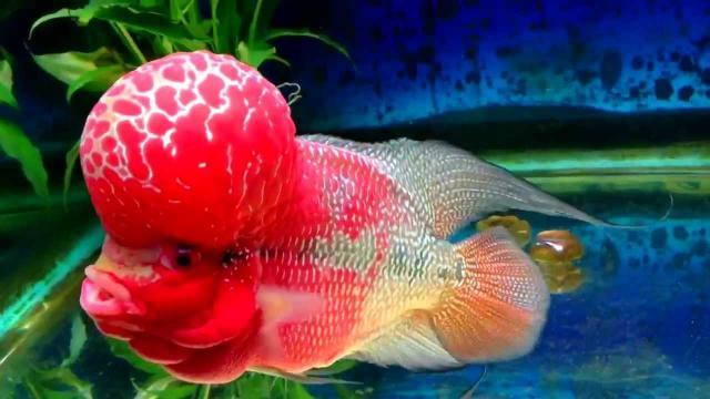 pesce Flowerhorn