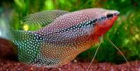 pesce Gourami