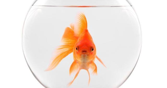Foto Pesce Rosso: cura e alimentazione