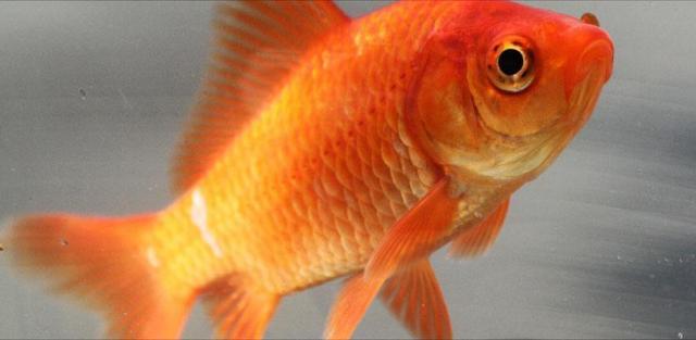 Pesce rosso cura e alimentazione for Pesce rosso razza