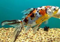 pesce rosso Shubunkin