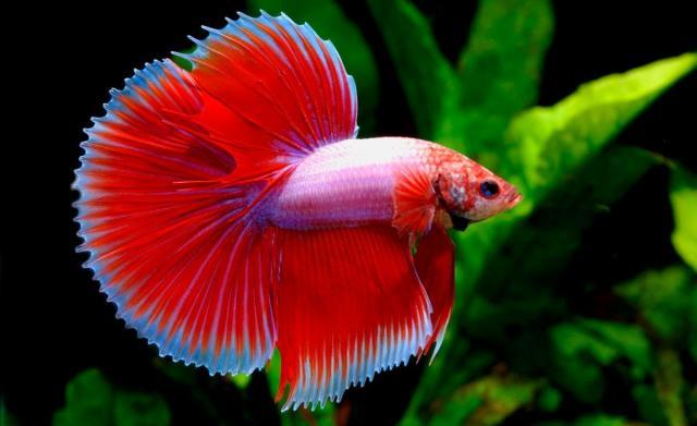 Foto Pesce Betta: caratteristiche, cure e alimentazione