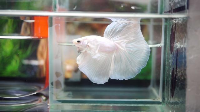 pesce betta bianco
