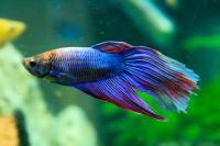 pesce betta acquario
