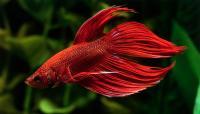 pesce betta rosso