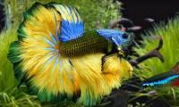 pesce betta di vari colori
