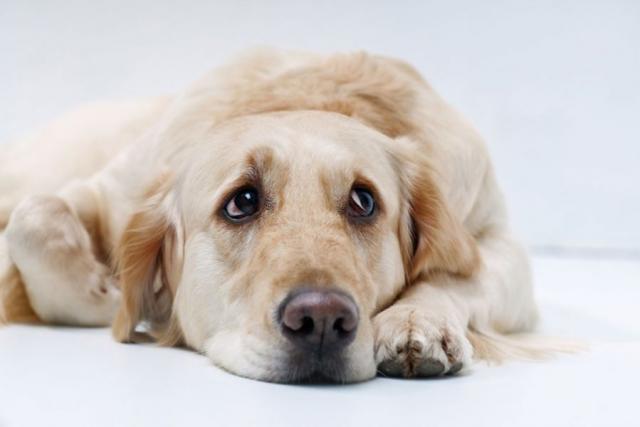 Foto Il cane è depresso? cause, sintomi e trattamento